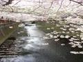 目黒川沿いの桜の木