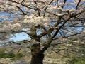 バードハミング鳥越の桜